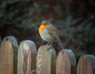 Robin w zimie
