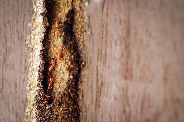 Robotnicy termitów małe termity robotnicy termitów naprawiający tunel na drzewie