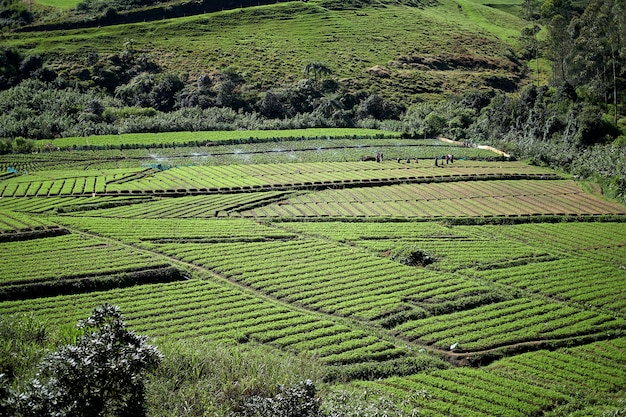 Robotnik rolnik podlewania i uprawy pola ryżowego