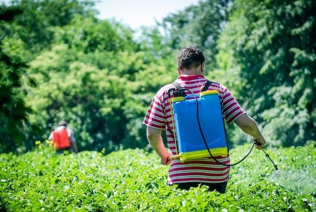 Robotnik rolny posypuje ziemniaki trucizną ze stonki ziemniaczanej