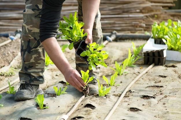 Robotnik rolny sadzący sałatki zieleni
