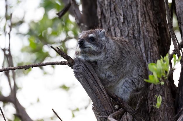 Rock badger siedzi na gałęzi drzewa