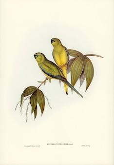 Rock grass-parakeet (euphema petrophila) zilustrowany przez elizabeth gould