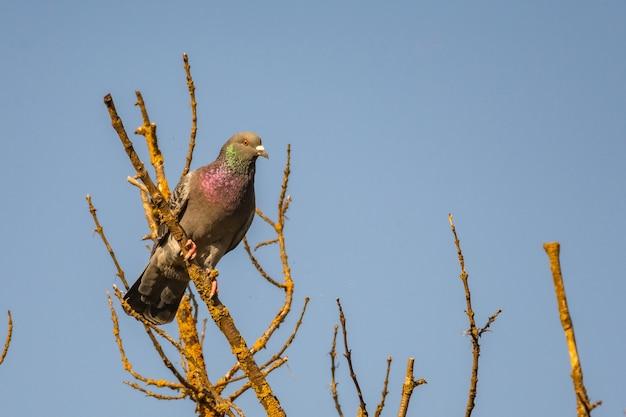 Rock pigeon, columba livia, na gałęzi, na wolności.