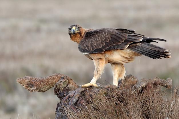 Roczna samica bonellis eagle w swojej ulubionej strażnicy z pierwszym brzaskiem w zimowy dzień