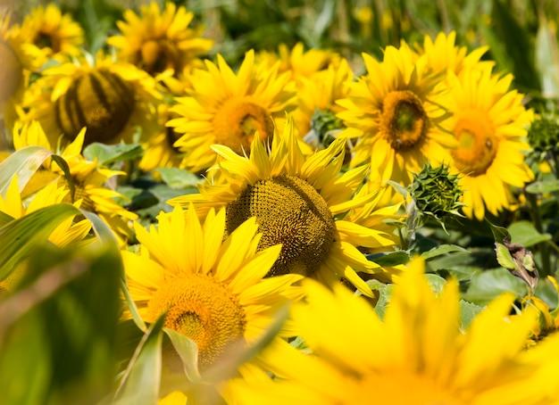 Roczna uprawa słoneczników