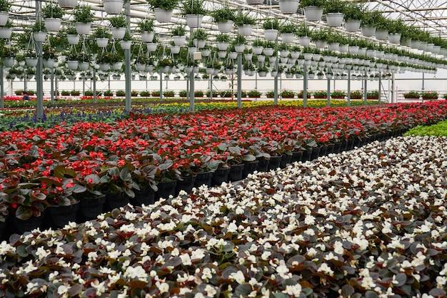 Roczne kwiaty na sprzedaż w szklarni