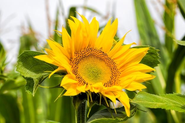 Roczny słonecznik z żółtymi płatkami na polu uprawnym, z bliska