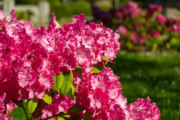 Rododendronowe kwitnienie kwiaty w wiosennym ogródzie. zimozielony krzew różanecznika rododendronowego lub kalifornijskiego. piękny różowy różanecznik z bliska