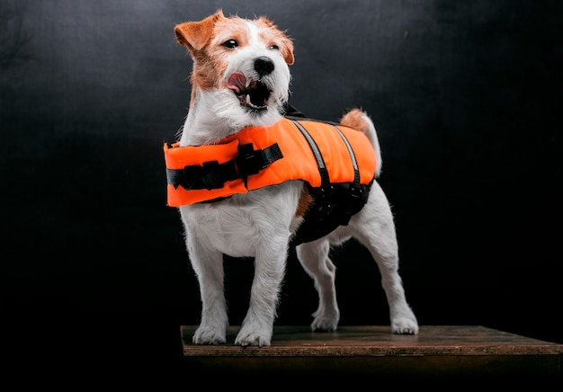 Rodowity jack russell w stroju ratownika malibu stoi na cokole w pracowni