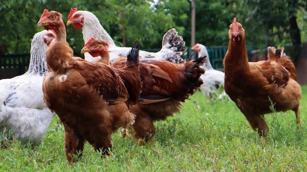Rodowodowe brązowe i białe kury i koguty jedzą trawę w przyrodzie, na zewnątrz na podwórku domu w pobliżu kurnika na wsi. rasowe kurczaki na podwórku wiejskiego domu.