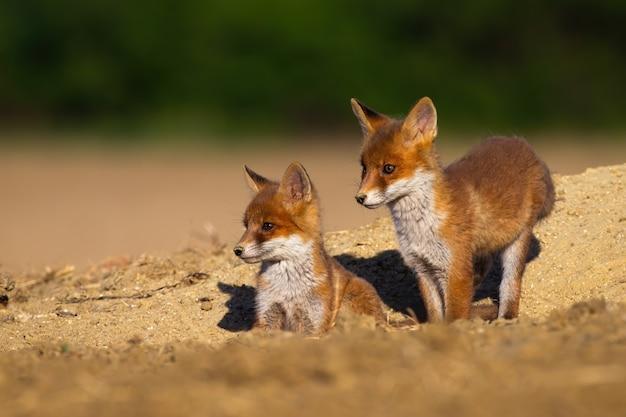 Rodzeństwo red fox stoi na legowisku