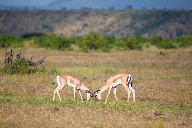 Rodzime antylopy w krainie trawiastej kenijskiej sawanny