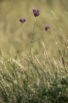Rodzime kwiaty verbena bonariensis w leśnym polu patagonia argentina