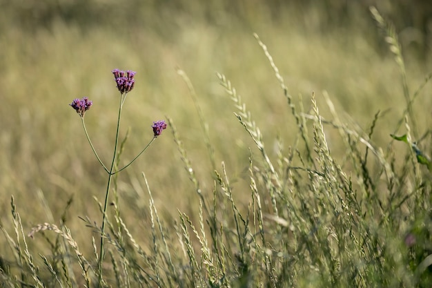 Rodzime kwiaty verbena bonariensis w leśnym polu