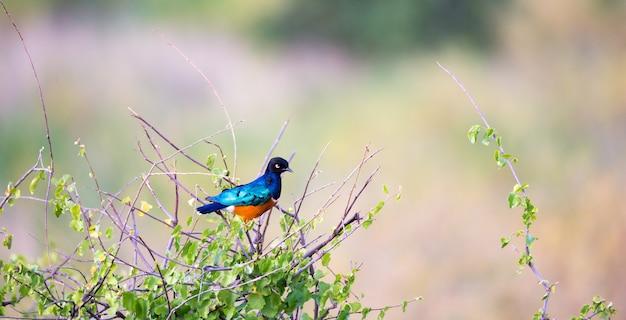 Rodzimy bardzo kolorowy ptak w krajobrazie kenii