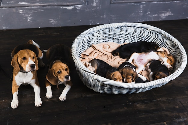 Rodzina beagle siedzi w studio
