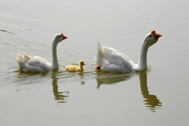 Rodzina białej gęsi pływa w jeziorze.