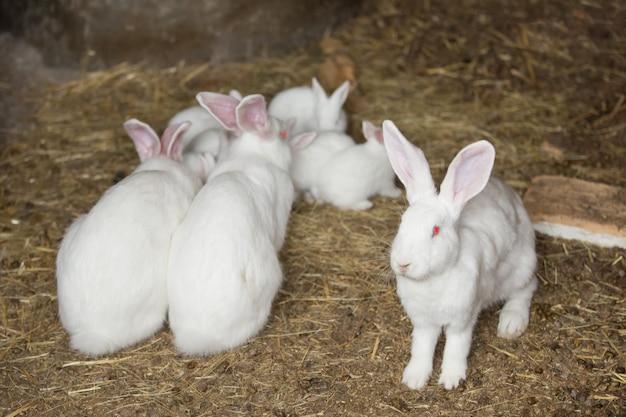 Rodzina białych futrzastych królików z czerwonymi oczami