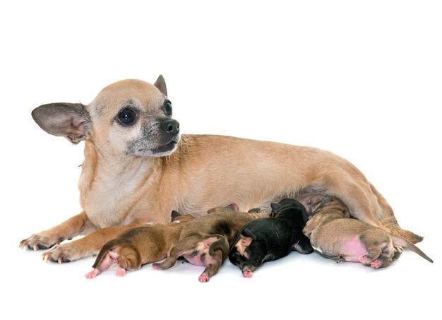 Rodzina chihuahua