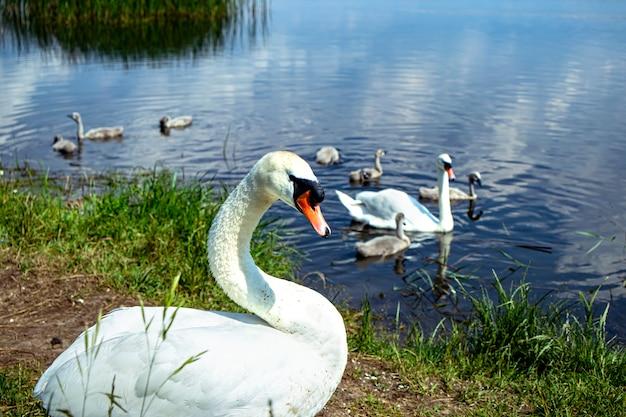 Rodzina dzikich łabędzi na jeziorze. silny dumny ptak. naturalna przyroda. zbliżenie.