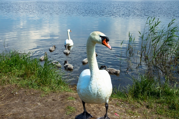 Rodzina dzikich łabędzi na jeziorze. silny dumny ptak. naturalna przyroda.