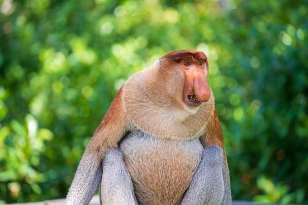 Rodzina dzikiej małpy trąba lub nasalis larvatus lub holenderski małpa, w lesie deszczowym wyspy borneo, malezja, z bliska. niesamowita małpa z masywnym obwisłym nosem