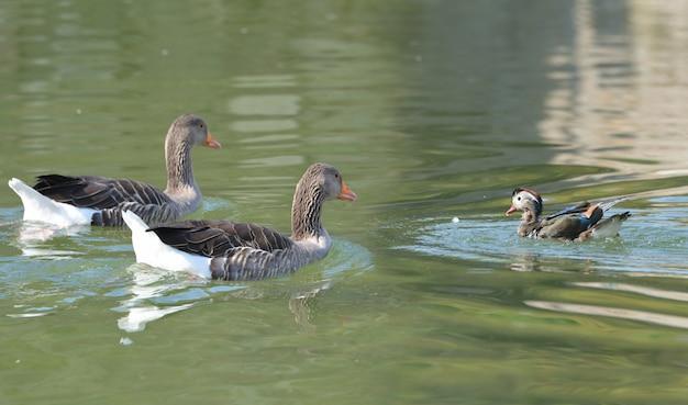 Rodzina kaczek na jeziorze