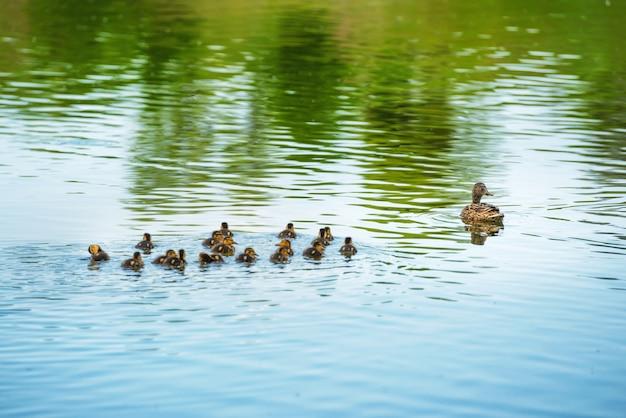 Rodzina kaczek z wieloma małymi kaczuszkami pływającymi w rzece