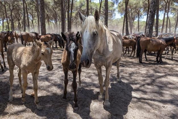Rodzina koni komunikuje się w zagrodzie.