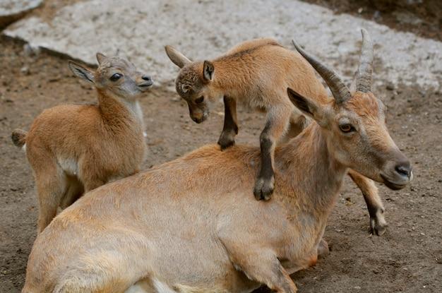 Rodzina kozłów górskich