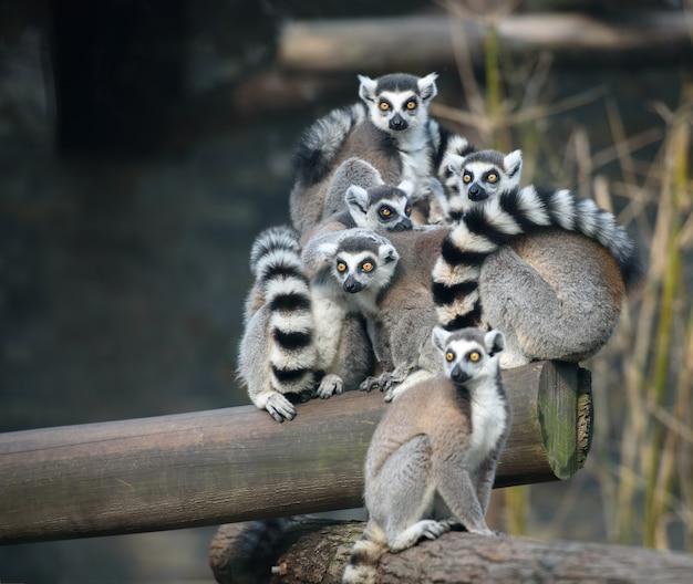 Rodzina lemurów ogoniastych siedzi i tuli się do siebie
