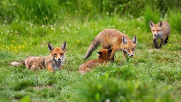 Rodzina lisa rudego odpoczywa na łące w przyrodzie w okresie letnim