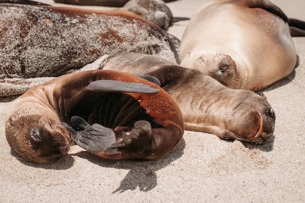 Rodzina lwów morskich, leżąc na plaży. śliczne urocze zwierzęta. zwierzęca i dzika przyroda ameryki.