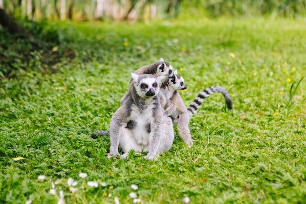 Rodzina ogoniastych lemurów siedzi na trawie. lemur catta patrzeje kamerę. piękne szaro-białe lemury. afrykańskie zwierzęta w zoo