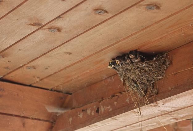 Rodzina ptaków w gnieździe. karmienie małych ptaków, noworodków. jaskółka chroniąca nowonarodzone ptaki w oborze.
