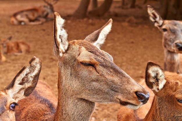 Rodzina samic jelenia brunatnego w parku