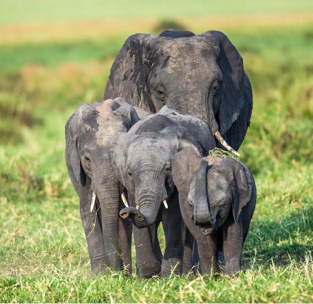 Rodzina słoni na sawannie udaje się bezpośrednio do fotografa.