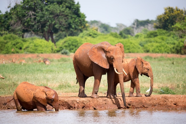 Rodzina słoni pije wodę z wodopoju
