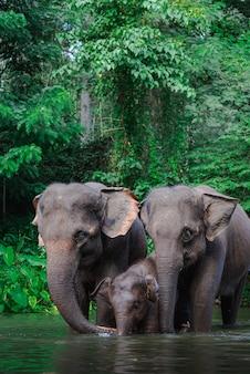 Rodzina słoni w wodzie
