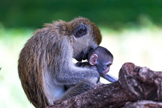 Rodzina vervet z małą małpką