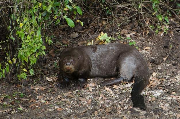 Rodzina wydr na brazylijskich terenach podmokłych