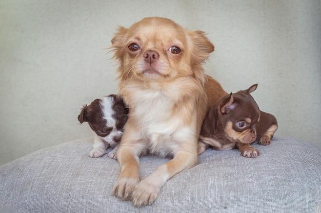 Rodzinny portret matki chihuahua i jej dwóch młodych.