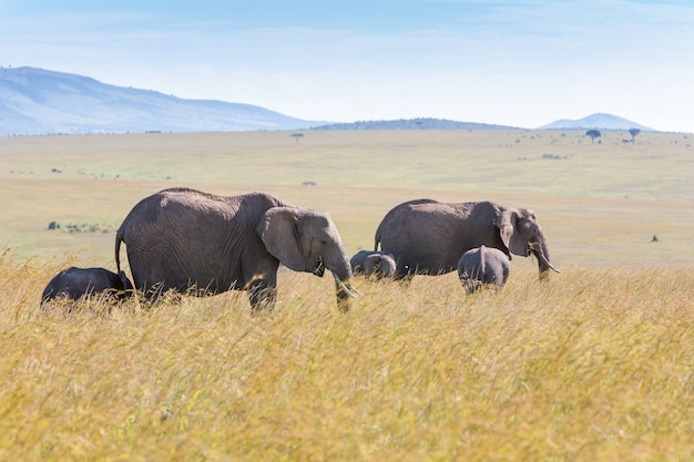 Rodzinny słonia odprowadzenie w sawannie
