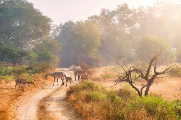 Rodziny niebieskiego byka nilgai i cętkowanego jelenia w ranthambore national park. radżastan, indie.