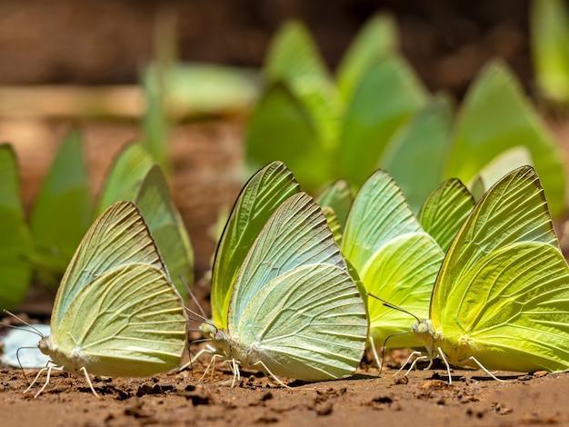 Rój motyli zjada minerały w glebie.