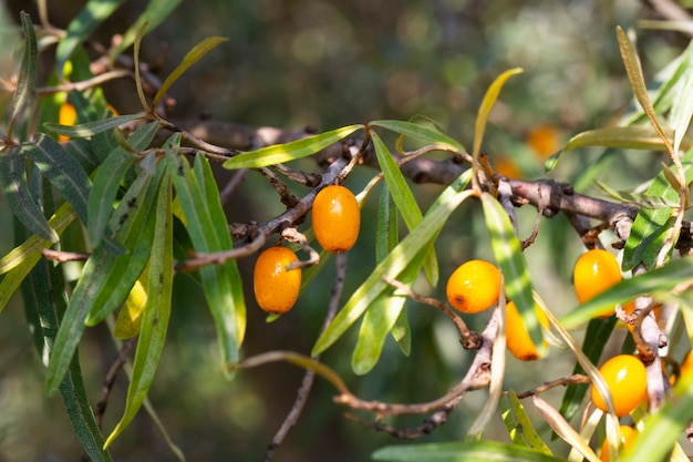 Rokitnik rosnący na drzewie z bliska hippophae rhamnoides. rokitnik jagody ekologiczne tło.