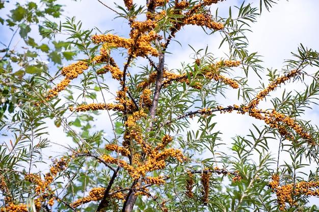 Rokitnik z jasnymi żółtymi owocami na tle błękitnego nieba