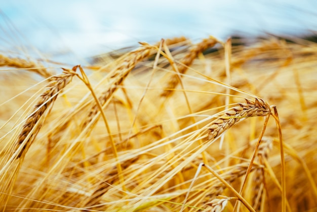 Rolne dojrzałe kłosy jęczmienia koncepcja bogatych zbiorów