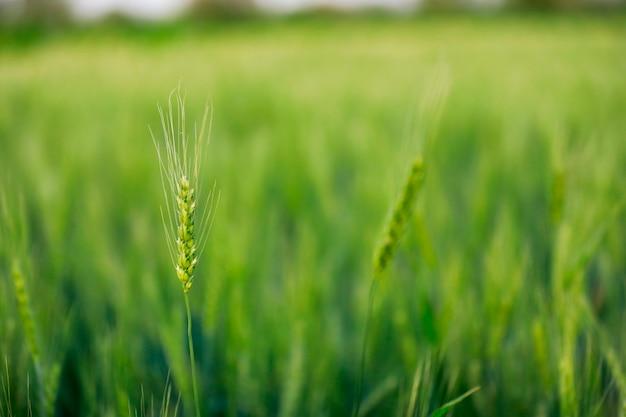 Rolnictwo indyjskie, pole pszenicy indie.